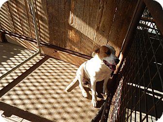 American Bulldog Mix Dog for adoption in Cuero, Texas - Max