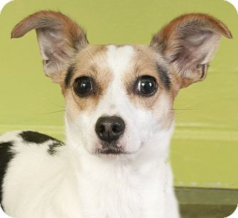 Rat Terrier Mix Dog for adoption in Chicago, Illinois - Pickle