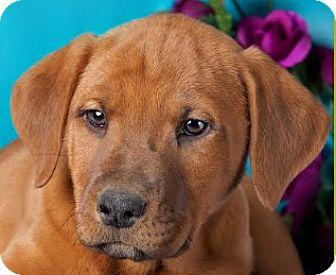 Labrador Retriever/Boxer Mix Puppy for adoption in Cincinnati, Ohio - Monkey