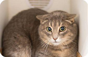 Domestic Shorthair Cat for adoption in Seville, Ohio - Donut