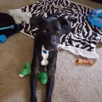 Adopt A Pet :: Dak - Kirby, TX