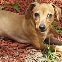 Adopt A Pet :: Amelia Earhart - Little Rock, AR