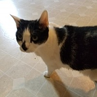 Adopt A Pet :: Stella - The declawed beauty - Oviedo, FL