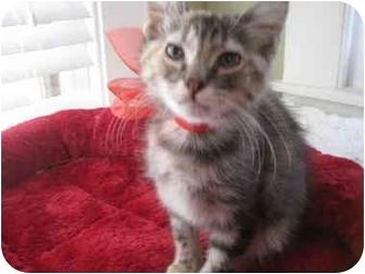 Domestic Longhair Kitten for adoption in Houston, Texas - Princess