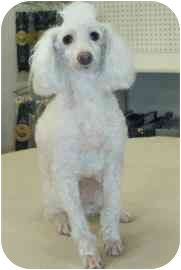 Poodle (Miniature) Dog for adoption in Old Bridge, New Jersey - Frosty