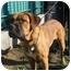 Photo 2 - Bullmastiff/Mastiff Mix Dog for adoption in Burbank, California - BASHLEY