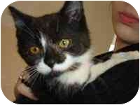 Domestic Shorthair Kitten for adoption in Farmington, Michigan - Mikey