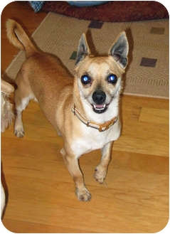 Chihuahua Mix Dog for adoption in Encino, California - Elvis