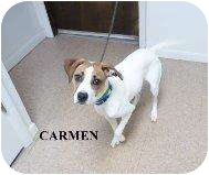 Boxer Mix Dog for adoption in Salamanca, New York - Carmen-Sponsored -No Fee!