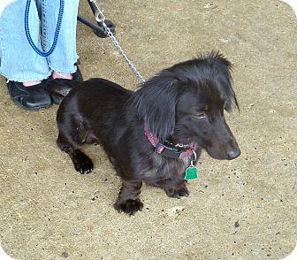 Dachshund Mix Dog for adoption in Linden, New Jersey - Hirschel