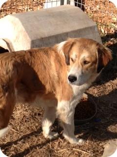 St. Bernard/Collie Mix Dog for adoption in Alpharetta, Georgia - Reagan