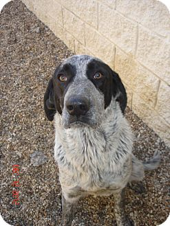 Bluetick Coonhound/Black and Tan Coonhound Mix Dog for adoption in Stilwell, Oklahoma - Comet