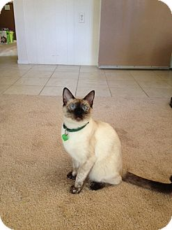 Siamese Cat for adoption in Laguna Woods, California - Star