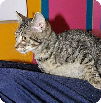 Domestic Shorthair Kitten for adoption in Mobile, Alabama - Ailey