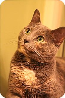 Domestic Shorthair Cat for adoption in Nashville, Tennessee - Kadee