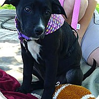 Adopt A Pet :: Rosie cutest family pup - Sacramento, CA