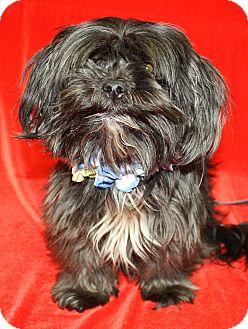 Shih Tzu Mix Dog for adoption in Jackson, Michigan - Hoover