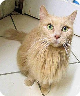 Domestic Longhair Cat for adoption in Morganton, North Carolina - Deli