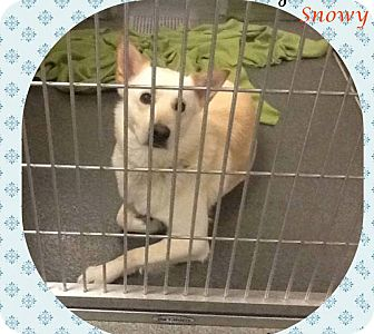 Siberian Husky Dog for adoption in Zanesville, Ohio - Snowy *SPONSORED LOW FEE*