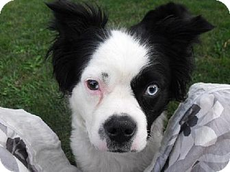 Boston Terrier/Border Collie Mix Dog for adoption in London, Ontario - Hope