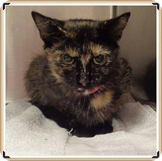 Domestic Shorthair Cat for adoption in Marietta, Georgia - P'NUT