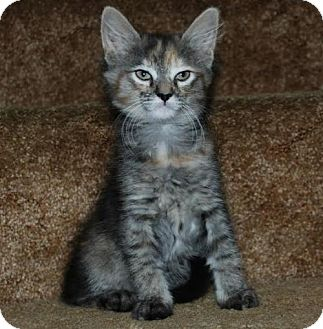 Domestic Shorthair Kitten for adoption in Walworth, New York - Avrille