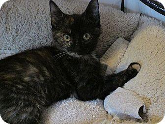 Domestic Shorthair Kitten for adoption in Tampa, Florida - Razzle!