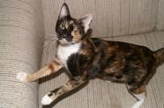 Domestic Shorthair Cat for adoption in Sarasota, Florida - Guenevere