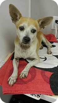Chihuahua Dog for adoption in Wallingford Area, Connecticut - Rosalita