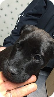 American Bulldog/Labrador Retriever Mix Puppy for adoption in Matawan, New Jersey - Cole
