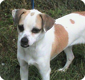 Pug/Beagle Mix Dog for adoption in Maynardville, Tennessee - Buddy