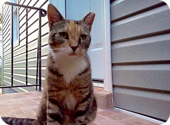 Calico Cat for adoption in Wantagh, New York - Lola