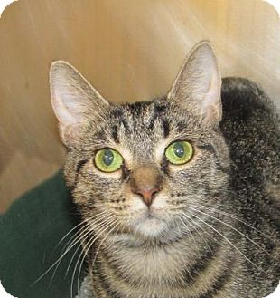 Domestic Shorthair Cat for adoption in Woodstock, Illinois - Brittney