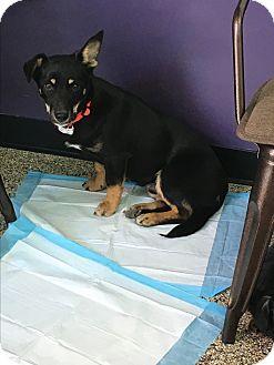 Corgi/Shepherd (Unknown Type) Mix Dog for adoption in Thousand Oaks, California - Puck