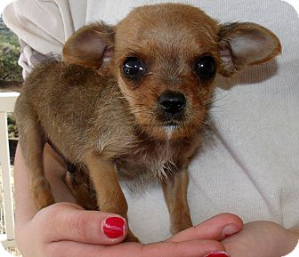 Chihuahua/Terrier (Unknown Type, Small) Mix Puppy for adoption in Corona, California - MOOSE