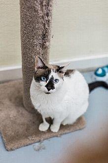 Siamese Cat for adoption in Pt. Richmond, California - SYLVIA