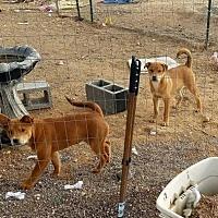 Adopt A Pet :: Chico - Tonopah, AZ
