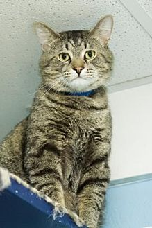Domestic Shorthair Cat for adoption in Evansville, Indiana - Tate