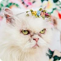 Adopt A Pet :: Gidget - Fort Lauderdale, FL