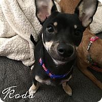 Adopt A Pet :: Koda - Rancho Santa Fe, CA