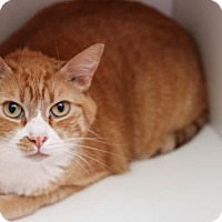 Domestic Shorthair Cat for adoption in Boise, Idaho - Otto