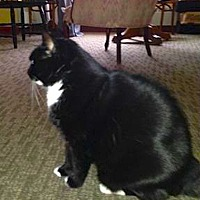Domestic Shorthair Cat for adoption in Oberlin, Ohio - Trixie & Tuxedo