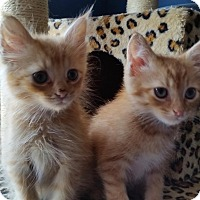 Adopt A Pet :: Melo &  Tigger -Brotherly Love - Arlington, VA