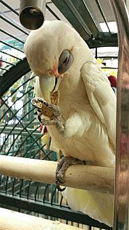 Cockatoo for adoption in Elizabeth, Colorado - Vitta Lucci