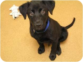 Labrador Retriever Mix Puppy for adoption in Norwalk, Connecticut - Memphis