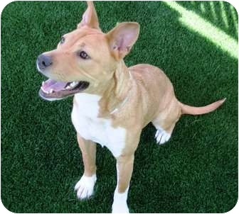 American Staffordshire Terrier Mix Dog for adoption in Sacramento, California - Wendy