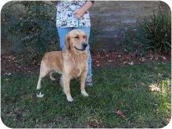 Golden Retriever Dog for adoption in El Cajon, California - Buster