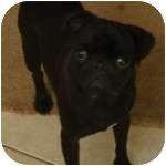 Pug Puppy for adoption in Windermere, Florida - Freddie