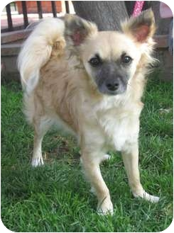 Chihuahua Mix Puppy for adoption in Poway, California - FOXY