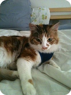 Calico Cat for adoption in Tracy, California - Reese-ADOPTED!